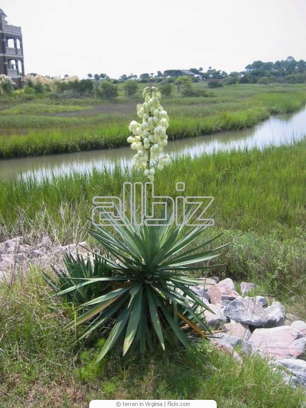 Comprar Yucca Guatemalensis