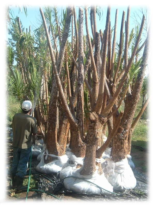 Comprar Planta Beaucarnea Ramificado