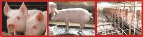 Comprar Alimento Para Cerdos Vitacerdito Aliansa