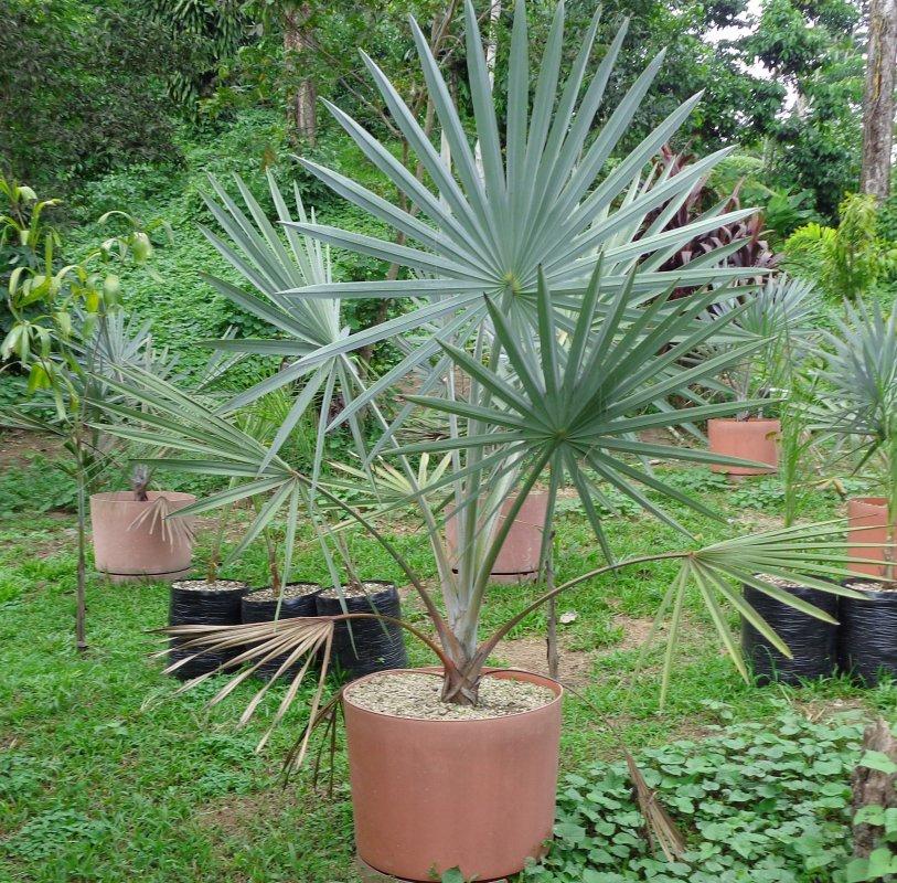 Comprar Bismarckia nobilis