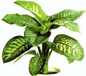 Comprar Planta Croton
