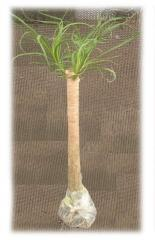 Planta en Bolsa