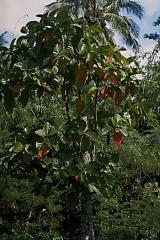 Planta Cinchona Succirubra