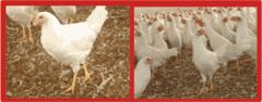 Alimento de Pollo Pre-Iniciarina