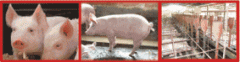 Alimento Para Cerdos Vitacerdito Aliansa