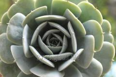 Suculenta.  Echeveria Texas Rose