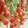 Semillas de tomates chicos