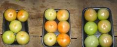 Tomate Manzano Diámetro de 5.0cm a 6.5cm