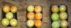 Tomates en Bandejas