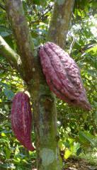 Granos de Cacao Trinitario