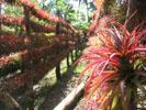 Plantas Sansevierias