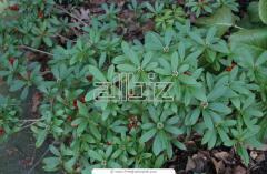 Plantas Ornamentales Hederas