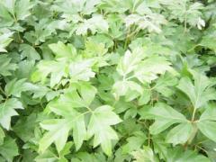 Planta Cissus Rhombifolia