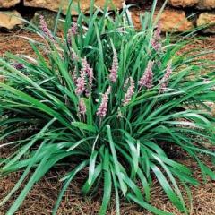 Plantas Liriopes