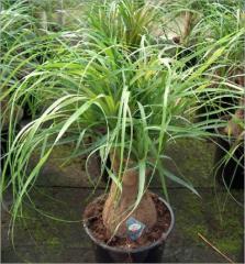 Planta Beaucarnea