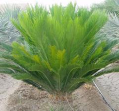 Planta Cyca Revoluta