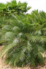 Planta Phoenix Roebellini