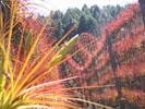 Planta Melanocrater