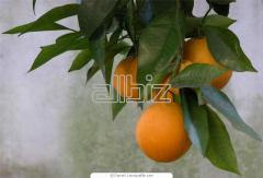 Árboles Citricos