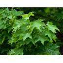 Acer platanoide