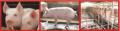 Nutrimento Para Cerdos Bio-Nova 4