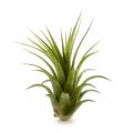 Planta Tillandsia Ionantha